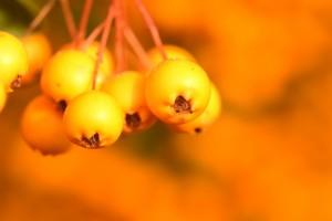 Rönnbär, gula